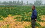 宿迁一位农民的眼泪:谁毒死了我家7亩多地小麦?
